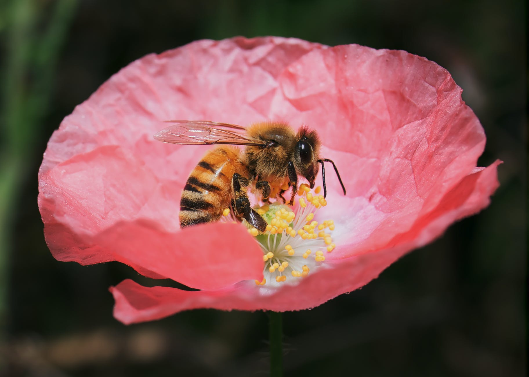 close up photo of bumblebee on flower